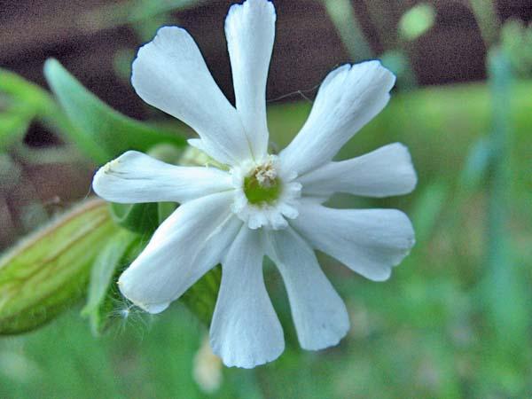 Night-flowering Catchfly (Silene noctiflora), flower view