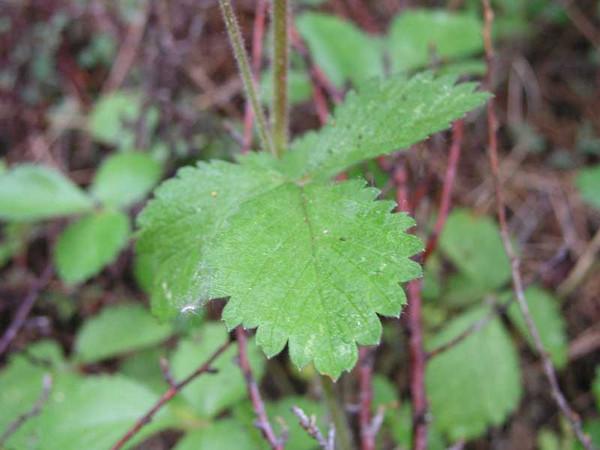 Sticky cinquefoil (Potentilla glandulosa), foliage detail