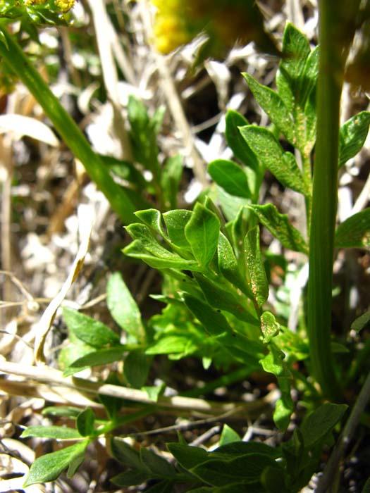 Arches Biscuitroot (Lomatium latilobum), foliage detail