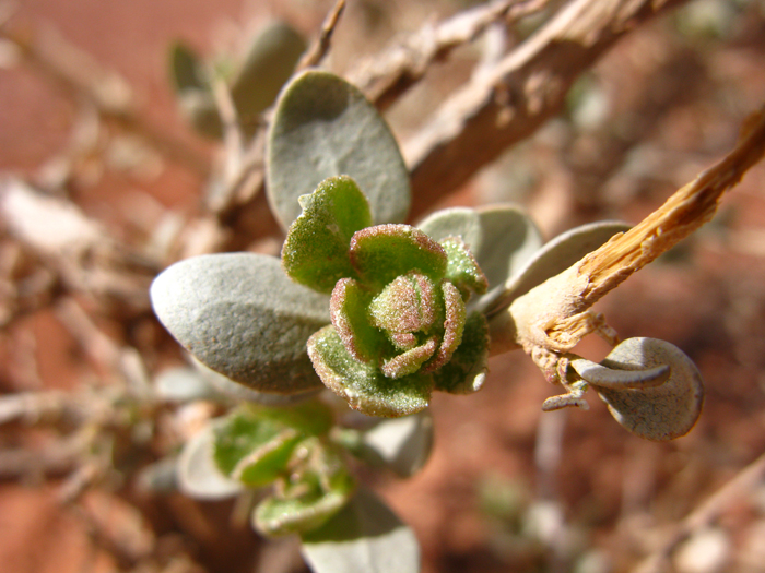Shadscale (Atriplex confertifolia), foliage detail