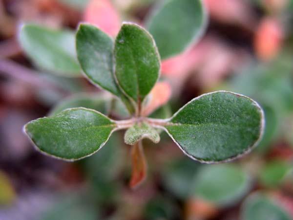 Sulfur-flower Buckwheat (Eriogonum umbellatum), foliage detail