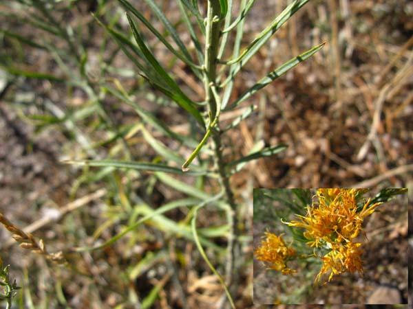 Parry's Rabbitbrush (Ericameria parryi affinis), foliage detail