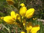 Thermopsis divaricarpa