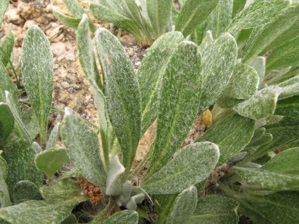 Sulphurflower Buckwheat (Eriogonum umbellatum), foliage detail