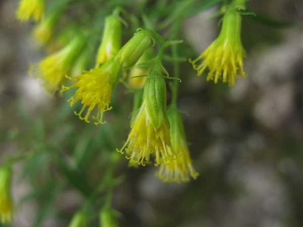 Dwarf Rabbitbrush (Chrysothamnus viscidiflorus), flower view