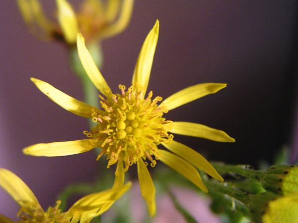 Tansy Ragwort (Senecio jacobaea), flower view