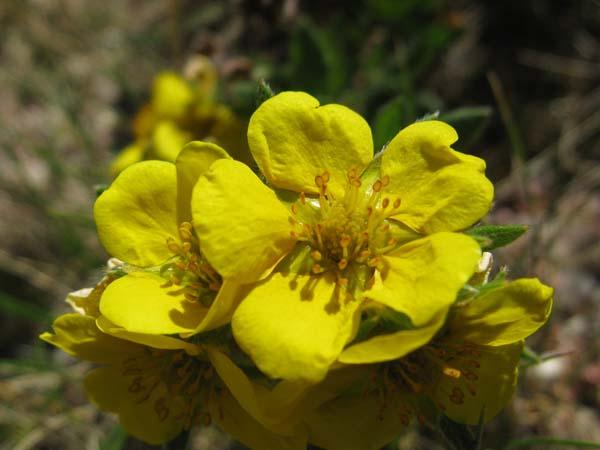 Shrubby Cinquefoil (Dasiphora fruticosa), flower view