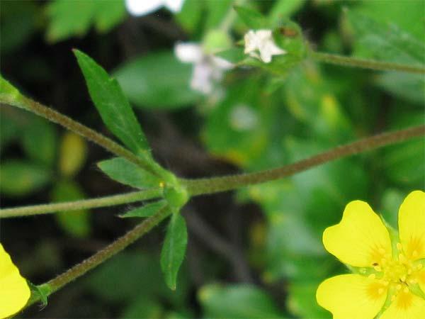 Beautiful Cinquefoil (Potentilla pulcherrima), foliage detail