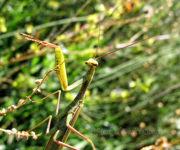 Preying Mantis (Mantis religiosa)