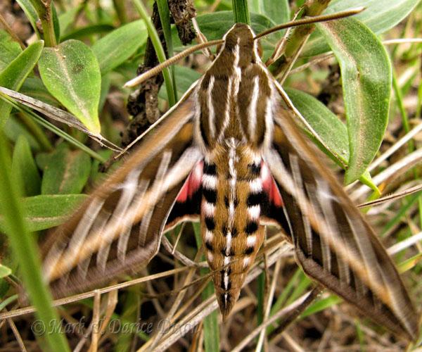 Vine Sphinx Moth (Eumorpha vitis)