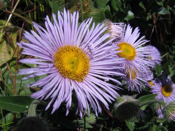 Unidentified asteraceae